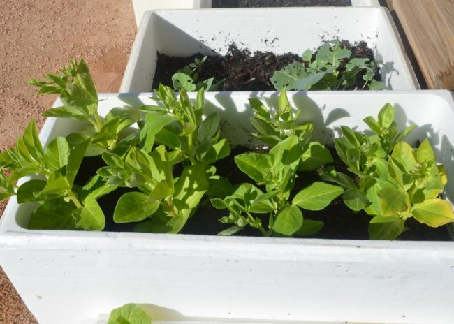 Maximise Your Vegetable Garden Space With Styrofoam Containers